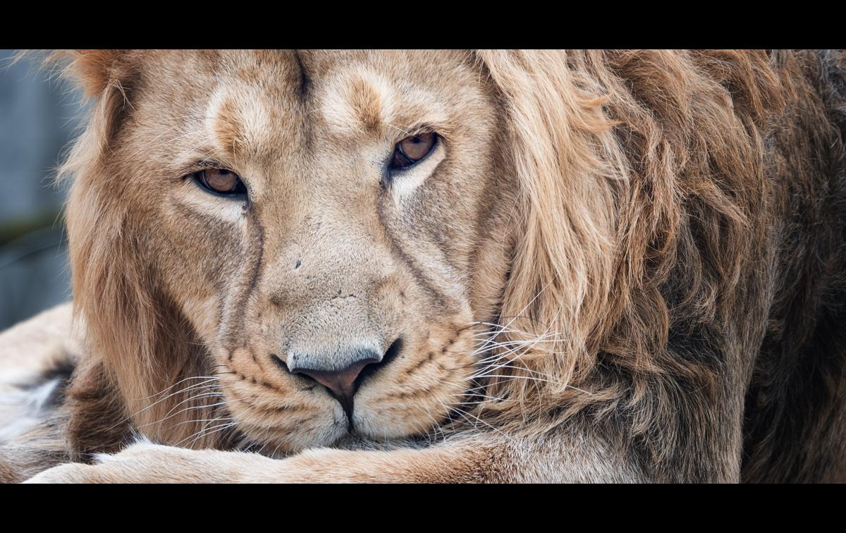 Du lion 40675275053_53e445aac5_o