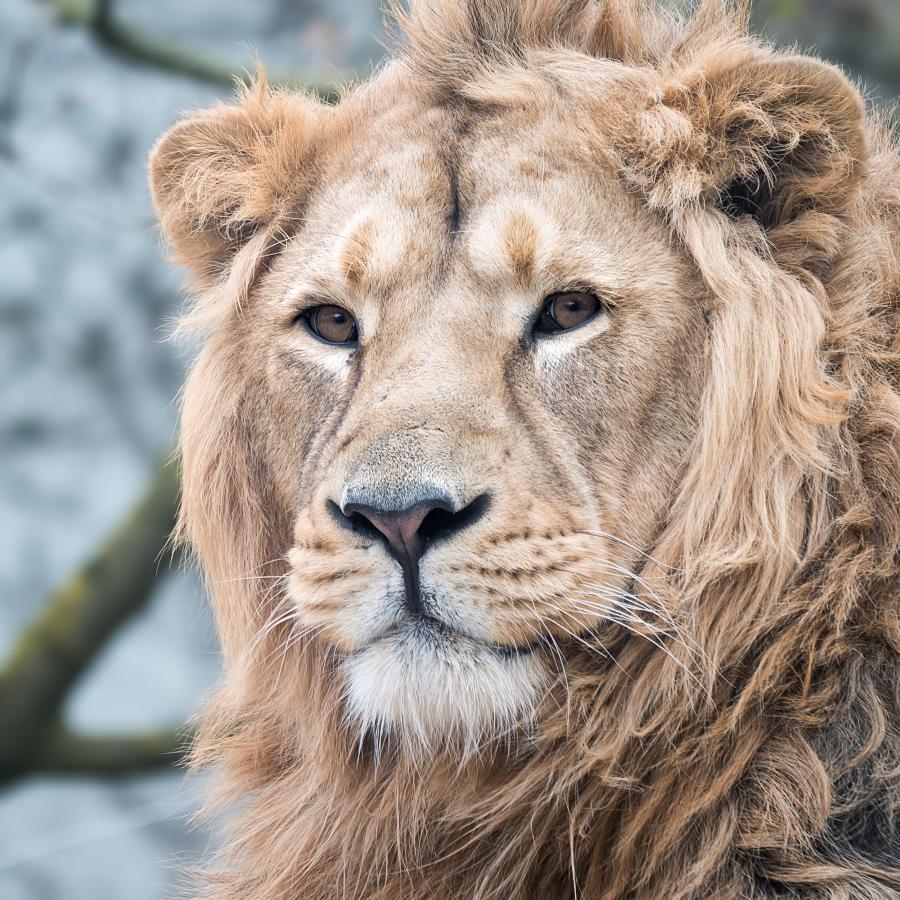 Du lion 40675275093_6a98074969_o
