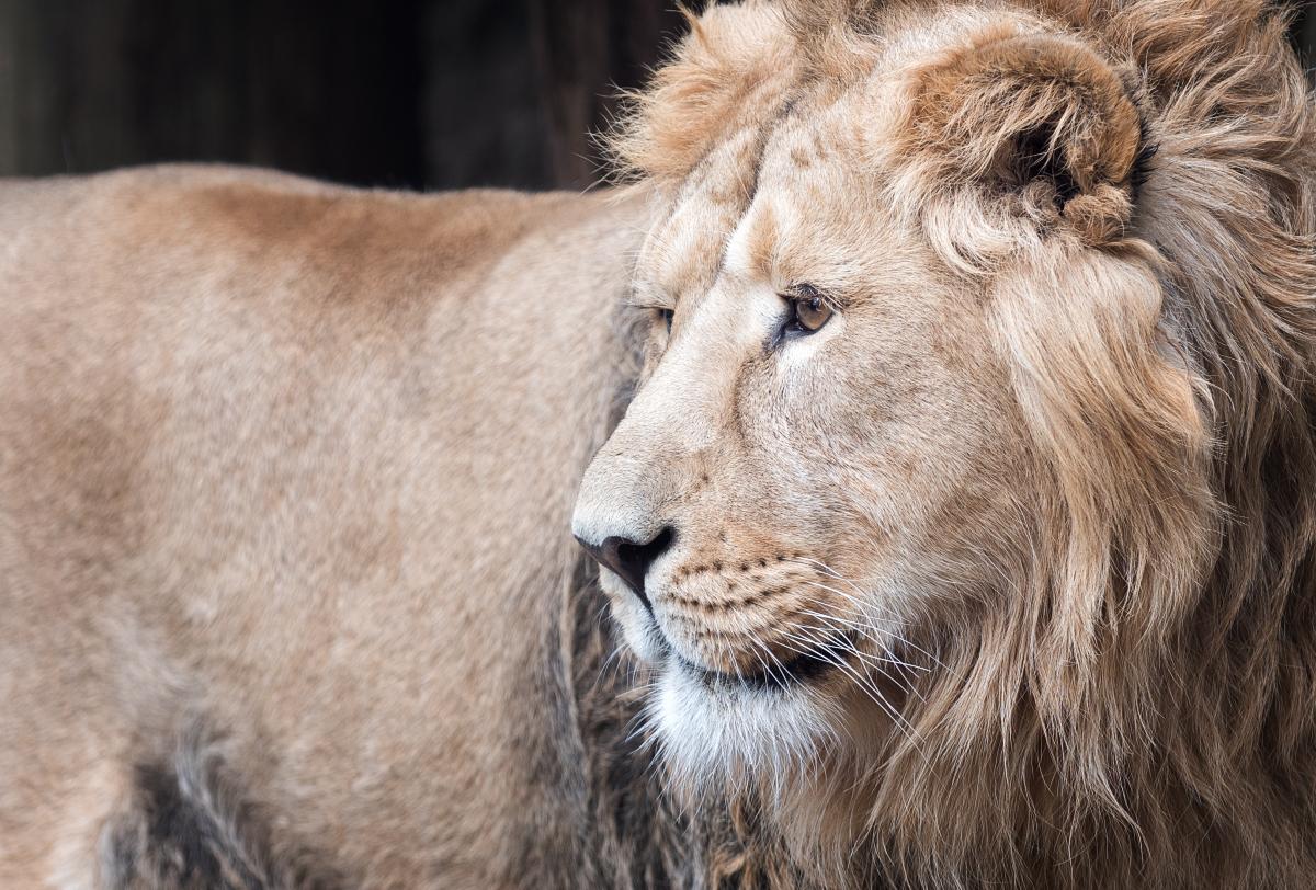 Du lion 40675275383_27224e85c0_o