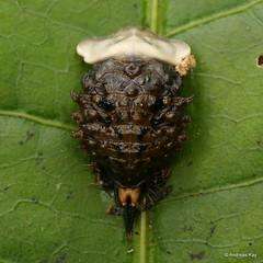 Tortoise beetle pupa, Cassidinae