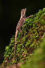 Juvenile Leaf-nosed Lizard - 2