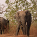 Savanna elephants, Mole Motel, Mole National Park, Ghana