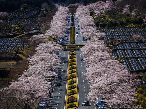 Cherry blossoms in Fuji Cemetery