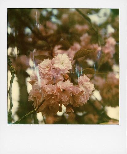 Cerisier du Japon ...