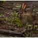Scrub hare, Lepus saxatilis