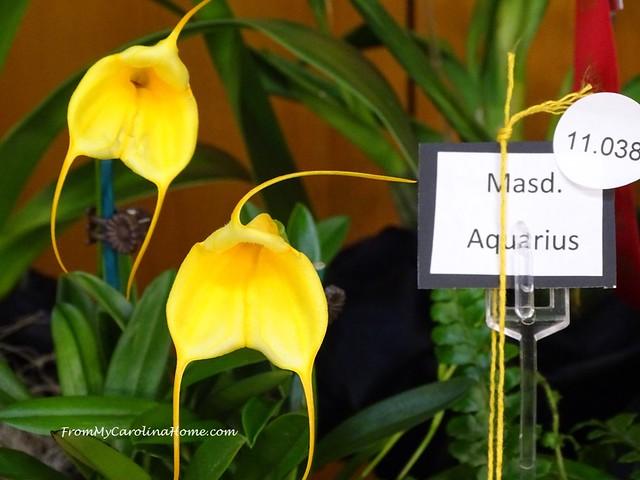 Masdevallia Aquarius