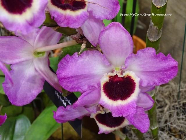 Dendrobium (Utopia x Santa Claus)