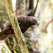 Kaka, Aviary,  Pukaha National Wildlife Centre, Mount Bruce, New Zealand
