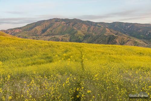 chinohillsstatepark yorbalinda orangecounty california spring april nikond750 tamron2470mmf28 evening sunset dusk gold golden yellow wildflowers colorful sierrapeak santaanamountains scullyridge