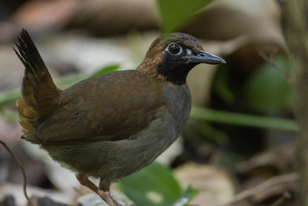 Black-faced Antthrush (Formicarius analis)