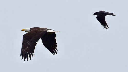 Baldie with a crow in pursuit!