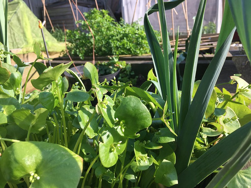 Claytonia and leeks