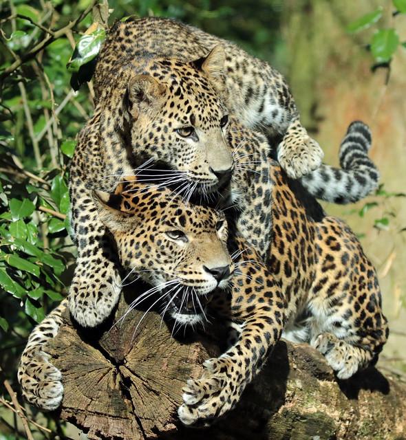 shrilankan panther Burgerszoo 094A0562
