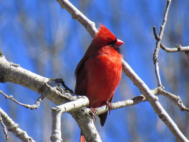 Cardinal Profile