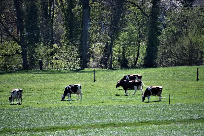 Cows 20.04 (9)