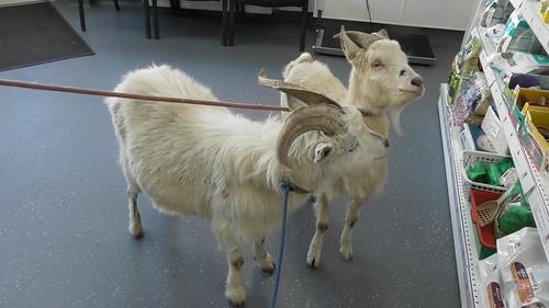 goats at vet Apr 19