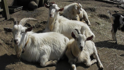 billy goats Apr 19