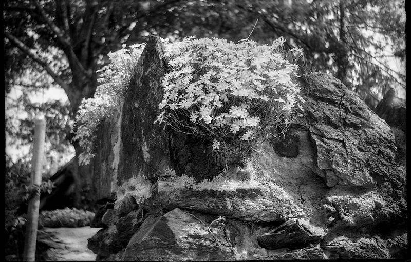 old stone wall, corner, top VI, tiny spring blossoms, Asheville, NC, Smena 1, Kodak Tri-X 400, HC-110 developer, 4.8.19