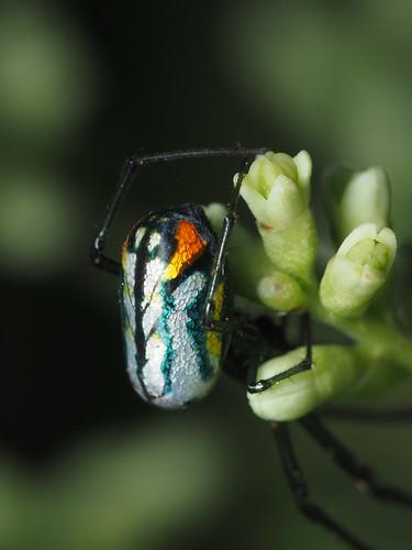 Orchard spider 4 | by zzffnn