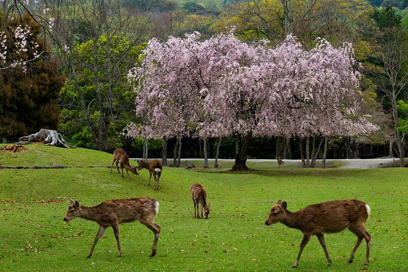 Morning of Nara Park