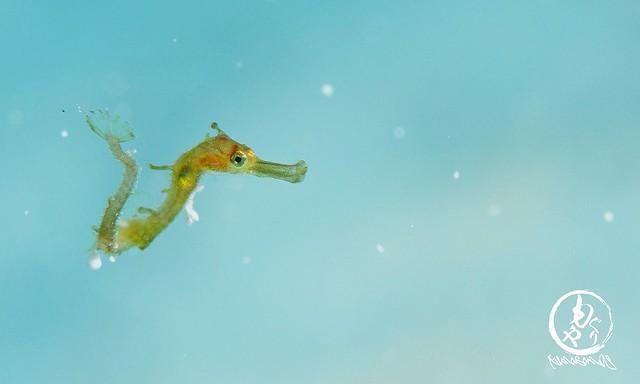 ひたすら浮いてたタツウミヤッコのベイビー