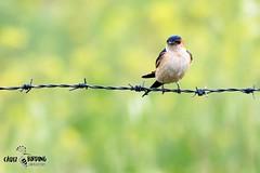 Golondrina daurica Red-rumped swallow Doñana