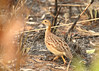 White-throated francolin, Mole National Park, Ghana by inyathi