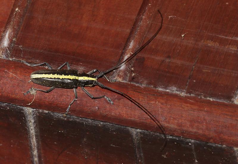 Longhorn beetle, Cerambycidae Ascanio?Best Costa Rica 199A9765