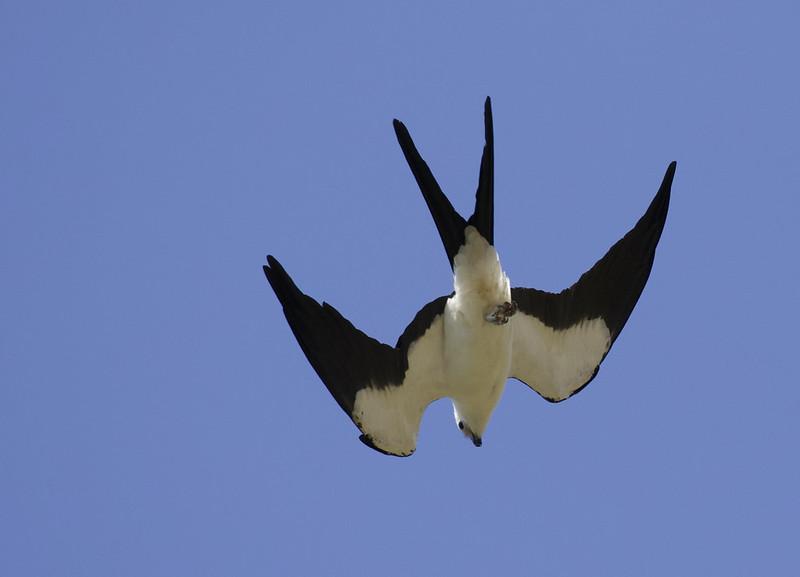 Swallow-tailed Kite, Elanoides forficatus Ascanio_Best of Costa Rica 199A7254