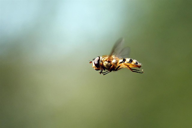 365 - Image 111 - Hoverfly macro...