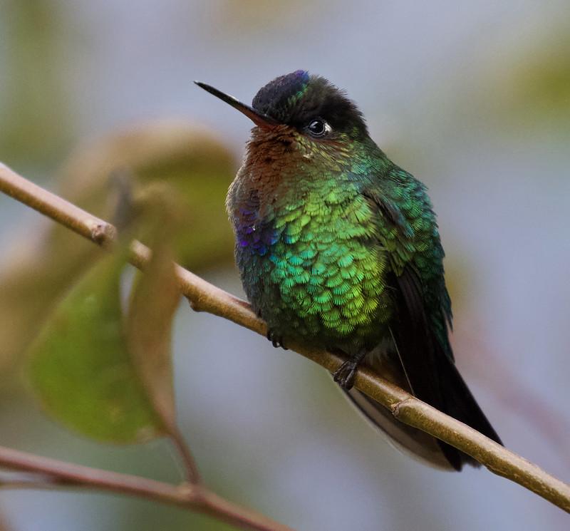 Fiery-throated Hummingbird, Panterpe insignis Ascanio_Best Costa Rica 199A8199