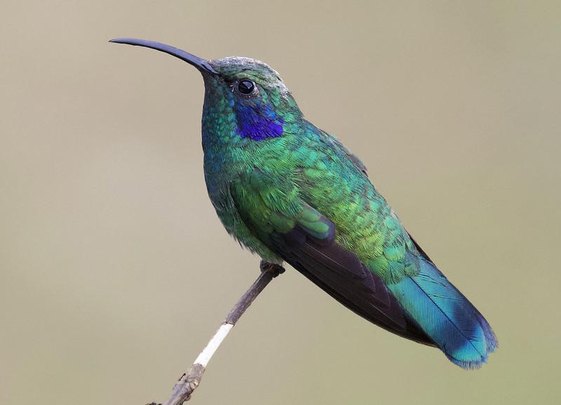 Lesser Violetear, Colibri cyanotus Ascanio_Best Costa Rica 199A8542