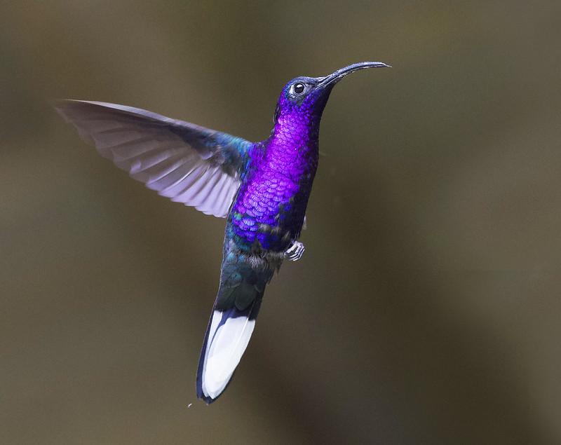 Violet Sabrewing, Campylopterus hemileucurus Ascanio_Grand Costa Rica 199A5655