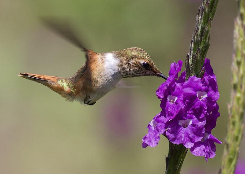 Scintillant Hummingbird, Selasphorus scintilla Ascanio_Best Costa Rica 199A8439