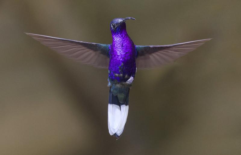 Violet Sabrewing, Campylopterus hemileucurus Ascanio_Grand Costa Rica 199A5658