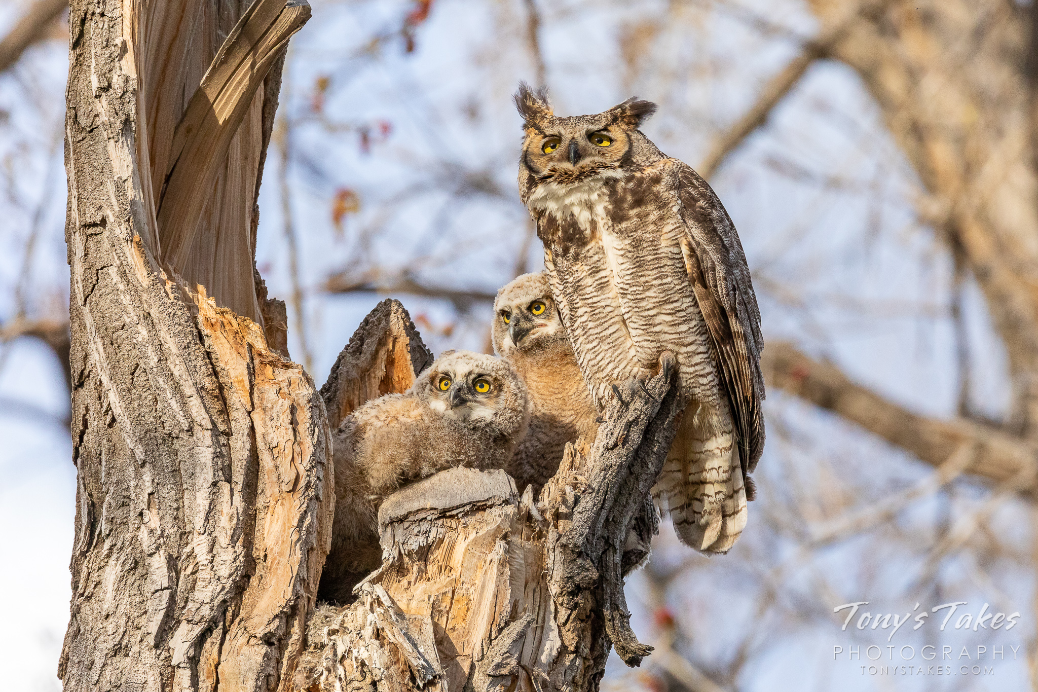 A great horned owl and her owlets keep close watch for threats at their nest in Thornton, Colorado. (© Tony's Takes)