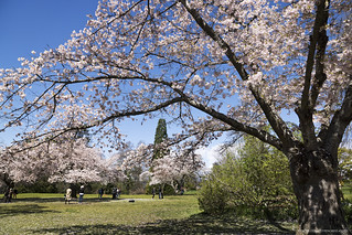 Cherry blossoms at QE Park