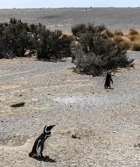 Penguins (685)
