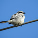 01 Day 4, Loggerhead Shrike, Aransas