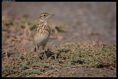 "Australasian Pipit: ""This far and no further!"""