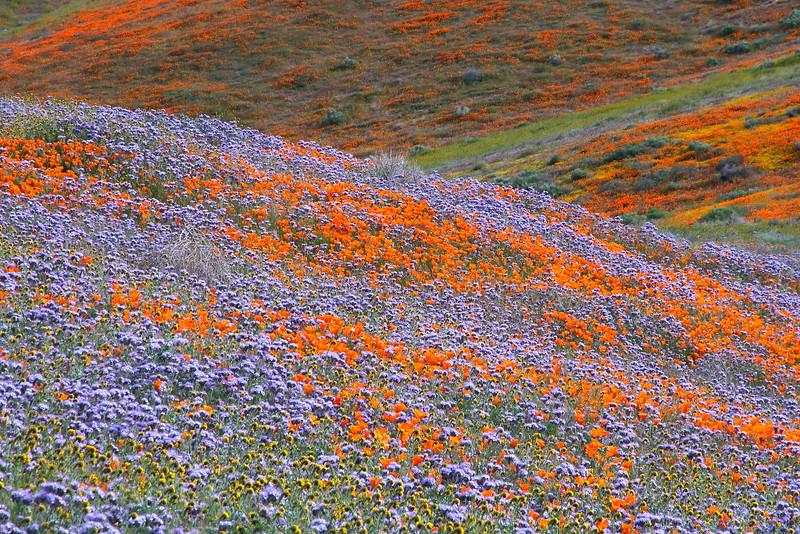 IMG_6029 Antelope Valley California Poppy Reserve
