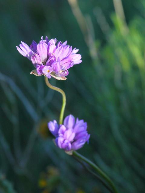 IMG_0123 Blue Dicks, Antelope Valley California Poppy Reserve