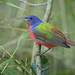 Painted Bunting by Greg Lavaty Photography