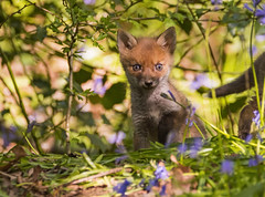 Fox cub in the bluebells