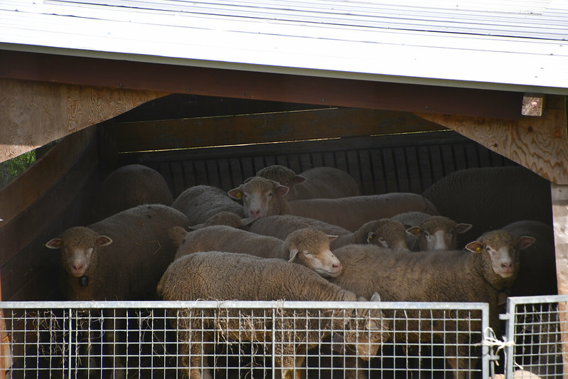 Sheep 22.04 (2)