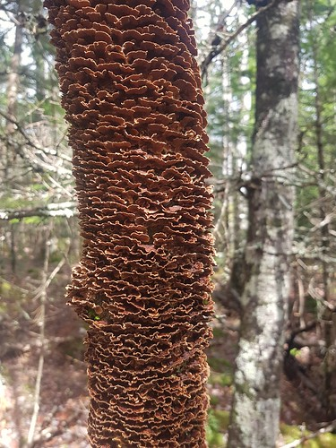 turkeytail polypore fungi