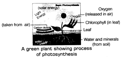 Nutrition in Plants Class 7 Notes Science Chapter 1 3
