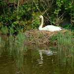 Nesting swan on the canal at Preston