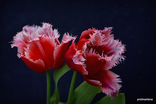 2019-04-206 unusual  red tulips, artwork