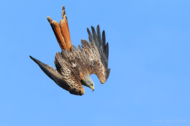 9P1A1476b Red Kite (Milvus milvus)